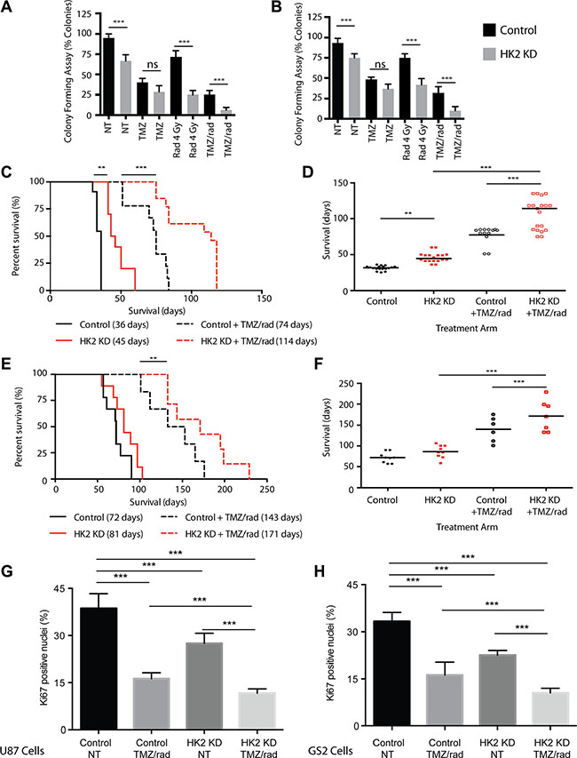 Loss of HK2 sensitizes tumors to chemotherapy and radiation (rad).