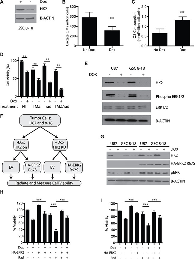 Loss of HK2 reduces ERK1/2 and promotes radiosensitivity.
