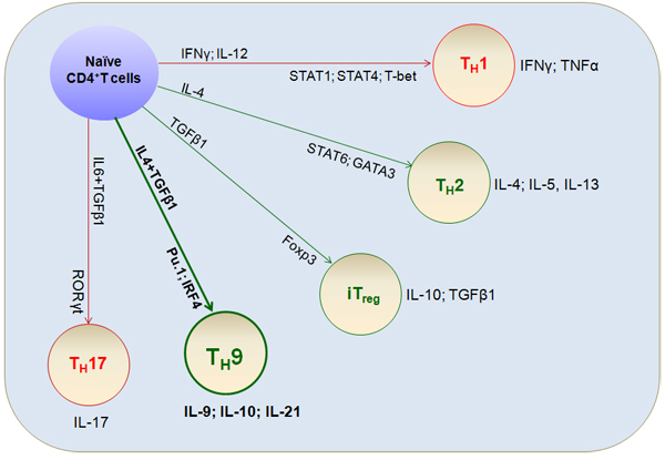 Differentiation of T cell lineages.