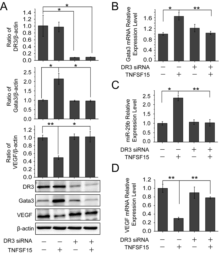 DR3 mediates TNFSF15- stimulate activation of GATA3, up-regulation of miR-29b and down-regulation of VEGF.
