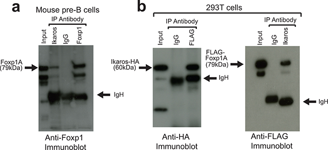 Ikaros and Foxp1 proteins interact in vivo.
