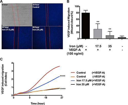 Cell-permeable iron inhibits VEGF-A induced endothelial migration.