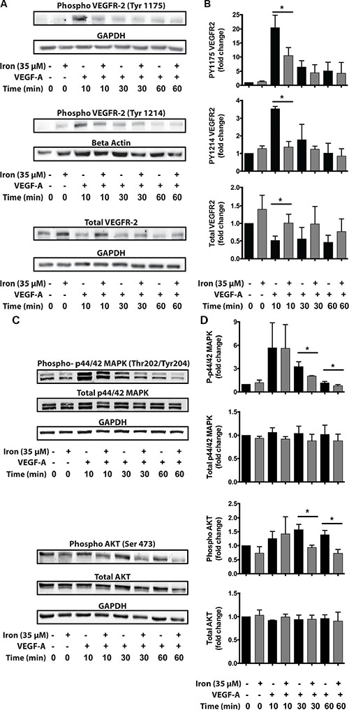 Cell-permeable iron inhibits VEGFR-2 receptor phosphorylation and downstream signaling.