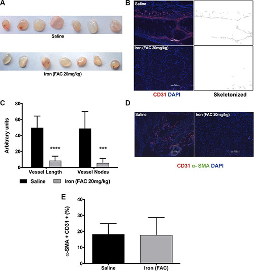 Iron inhibits VEGF-A induced angiogenesis in vivo.