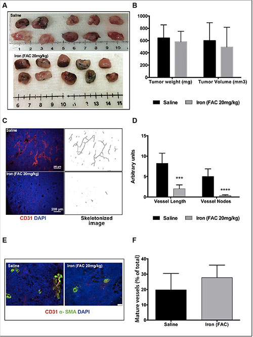 Iron inhibits tumor cell-induced angiogenesis.