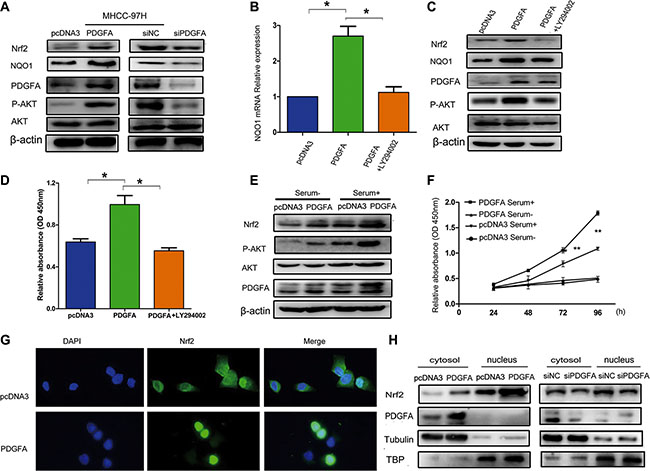 Nrf2 forms a feedback loop with PDGFA in the activation of the AKT pathway.