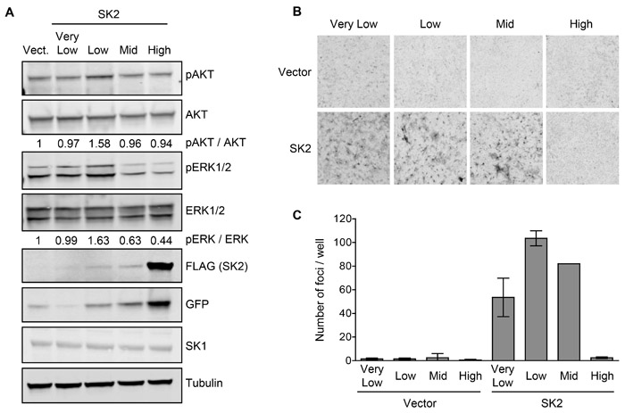 SK2 overexpressed at low levels can elicit oncogenic signaling and drive neoplastic transformation