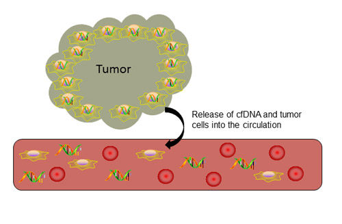 Release of cell-free DNA into circulation.