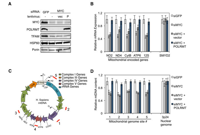MYC regulates mitochondrial transcription and mtDNA replication