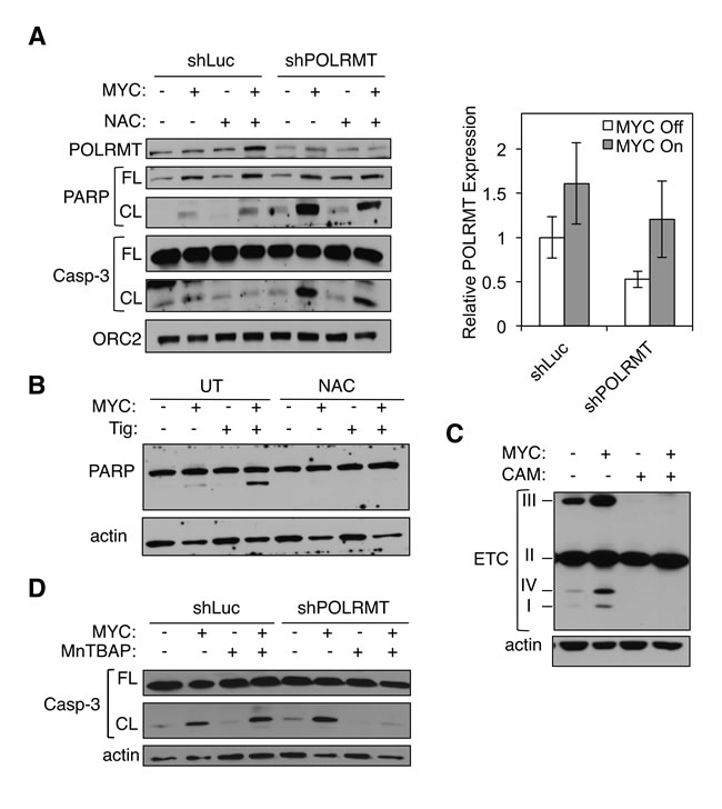 Mitochondrial gene expression protects MYC-overexpressing cells from toxic levels of ROS.