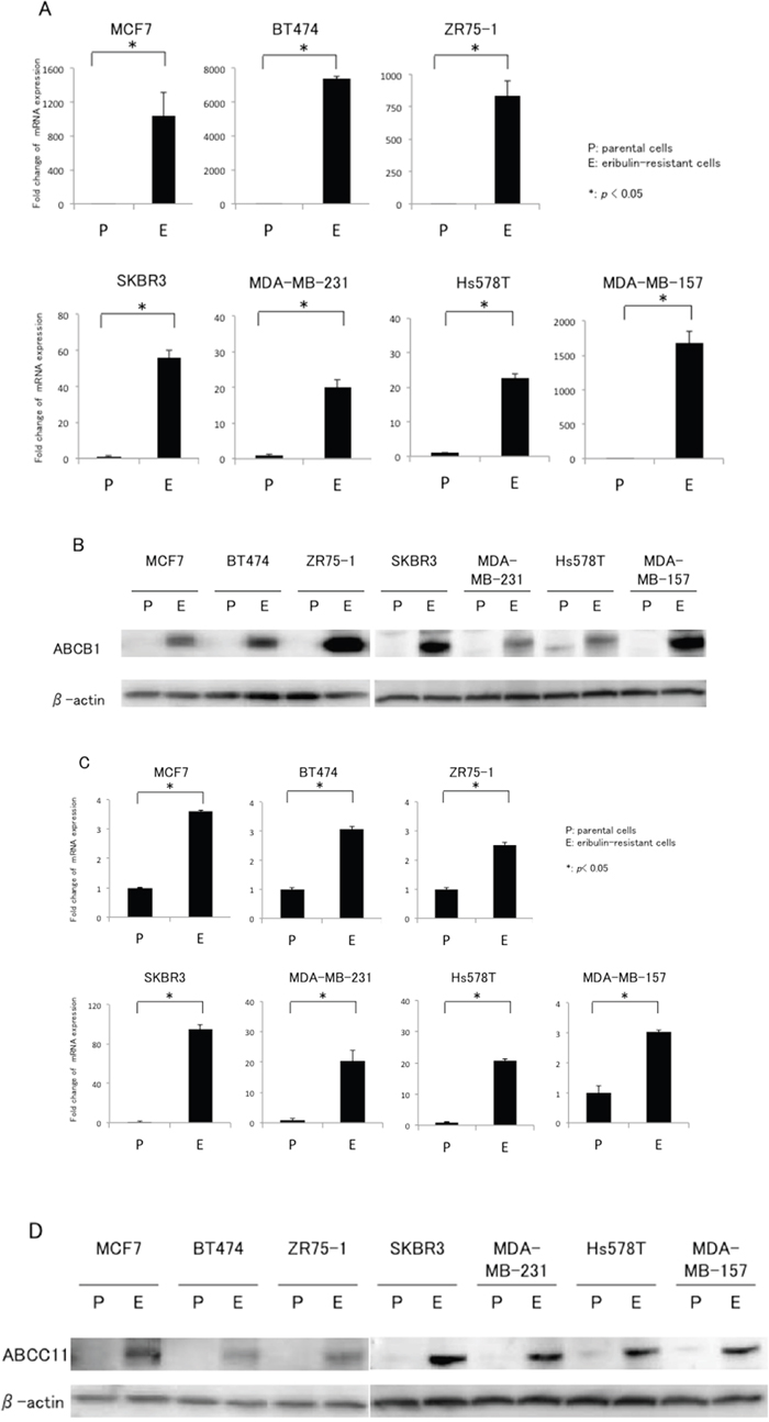 mRNA and protein expression of ABCB1 and ABCC11 in eribulin-resistant breast cancer cells and their parental cells.