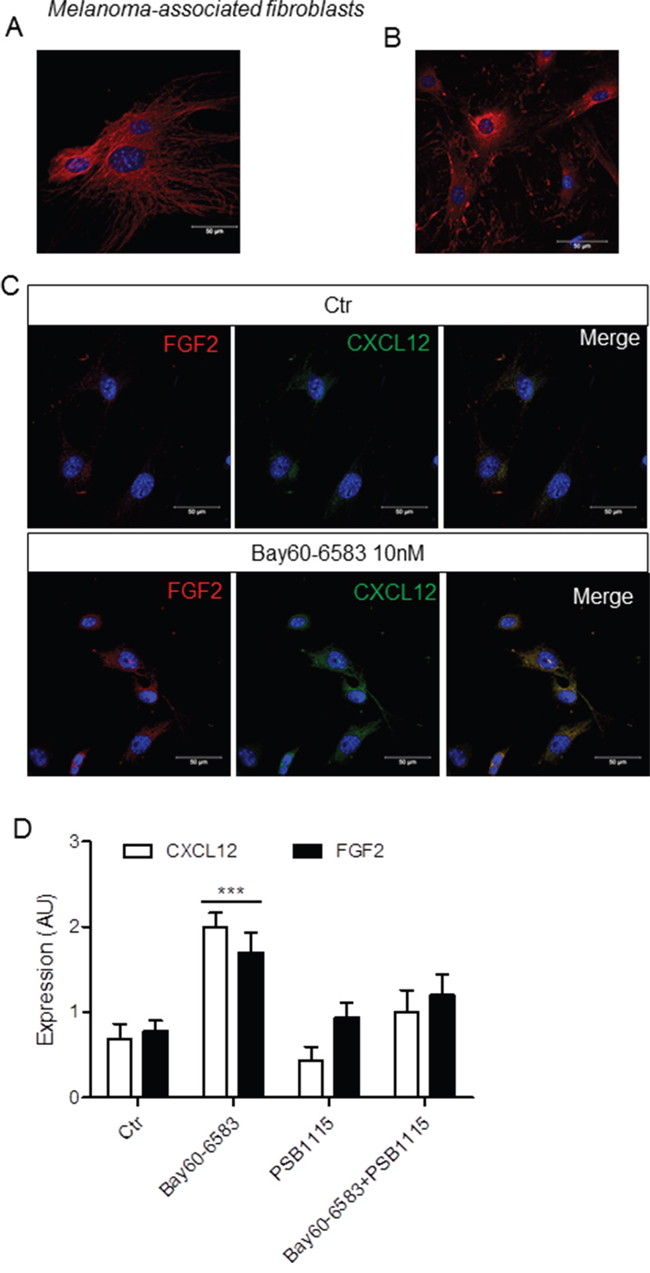 Bay60-6583 induces the expression of FGF2 and CXCL12 in isolated melanoma-associated fibroblasts.
