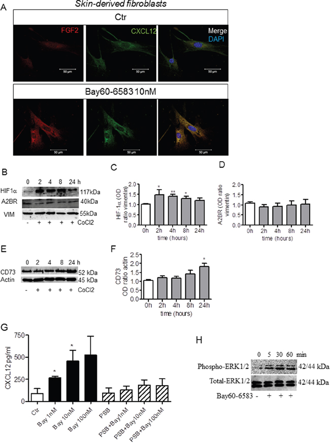 Bay60-6583 induces the expression of FGF2 and CXCL12 in skin-derived fibroblasts under hypoxic conditions in a concentration-dependent manner.