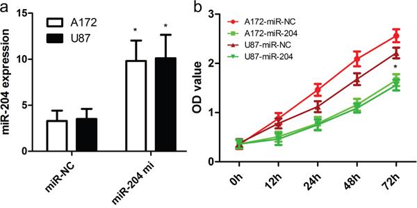 miR-204 inhibits GBM cell proliferation.