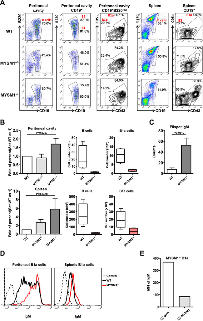 Increased B1a cell frequency and IgM expression in MYSM1 deficient mice.