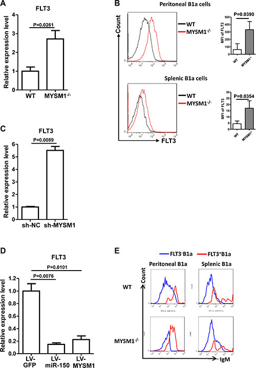 miR-150 inhibits FLT3 in B1a cells.