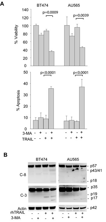 Pharmacological inhibition of basal autophagy sensitizes TRAIL-resistant cells to TRAIL induced apoptosis.