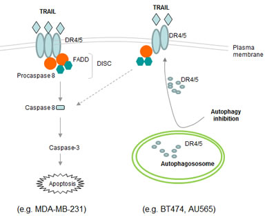Schematic representation of the basal autophagosome mediated cellular resistance to TRAIL induced apoptosis.
