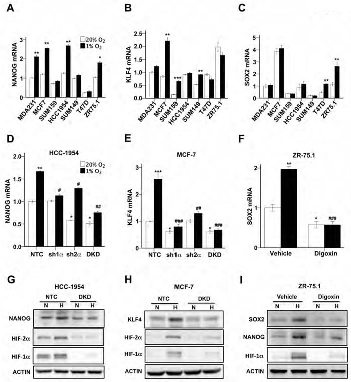 HIFs are required for hypoxia-induced expression of pluripotency factors.