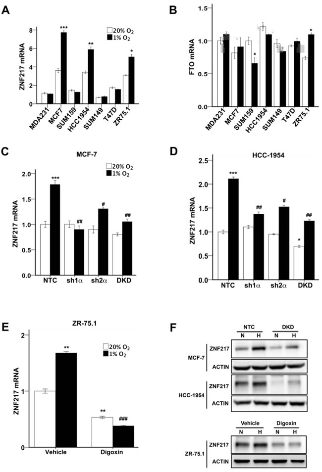 ZNF217, but not FTO, expression was induced by hypoxia in a HIF-dependent manner.