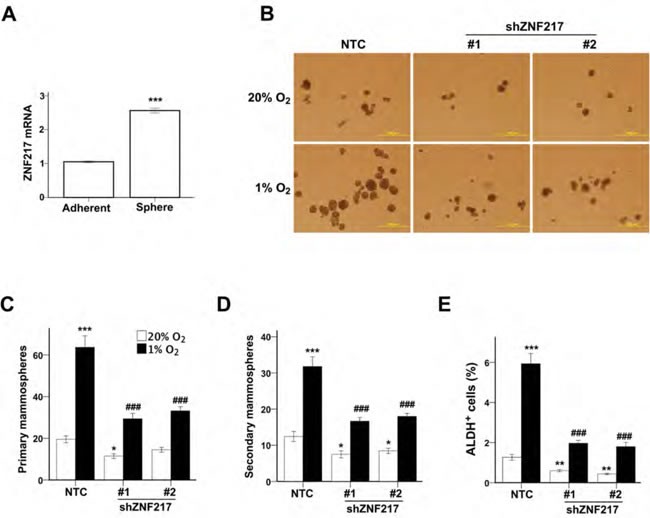 ZNF217 is required for hypoxia-induced BCSC enrichment.