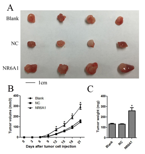 Overexpression of NR6A1 significantly inhibited cellular growth