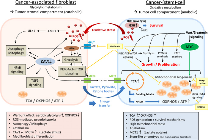Metabolic coupling in two-compartment tumor metabolism.