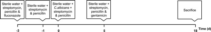 Schematic timeline of the gastrointestinal murine model of infection.