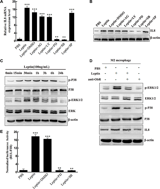 Leptin induced IL-8 production in M2 macrophages by activating the MAPK/ERK 1/2 and P38/MAPK signaling pathways in an ObR-dependent manner.