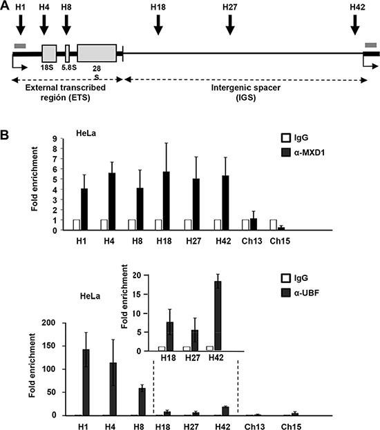 MXD1 binding to rDNA chromatin.