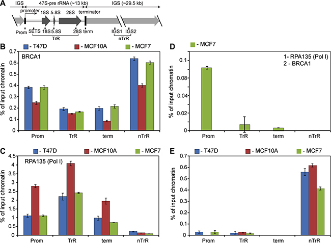 BRCA1 is associated with rDNA repeat.