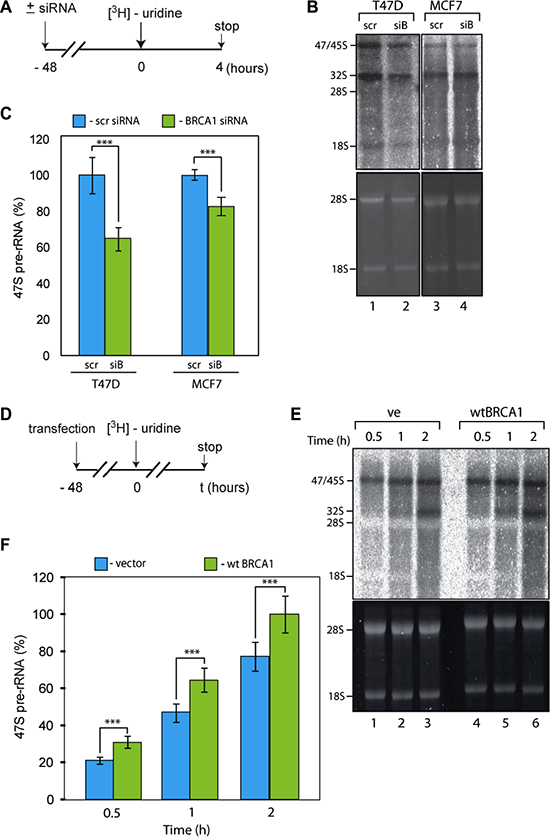 BRCA1 positively regulates rRNA synthesis in cells.
