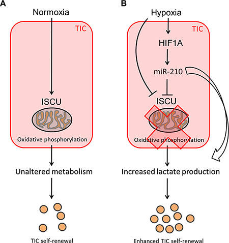 Potential mechanism leading to increased self-renewal of colon TICs under hypoxic conditions.