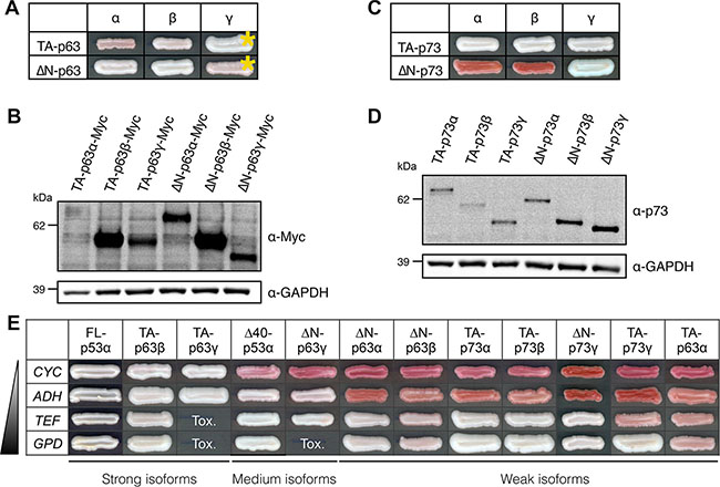 Transactivity of p63 and p73 isoforms in FASAY-RGC strain.
