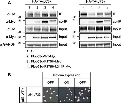 Investigation of the mechanism of the dominant-negative effect exerted by FL-p53α-R175H over TA-p63γ and TA-p73γ in FASAY-RGC strain.