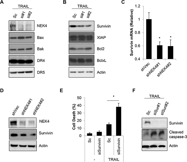 Down regulation of NEK4 decrease survivin expression.