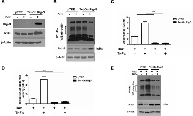 Effects of Rig-G protein on IκBα degradation.