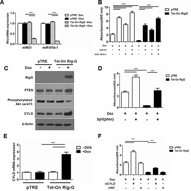 Rig-G inhibits NF-κB activation through downregulation of MiR21/PTEN/Akt and miR181b-1/CYLD pathways.