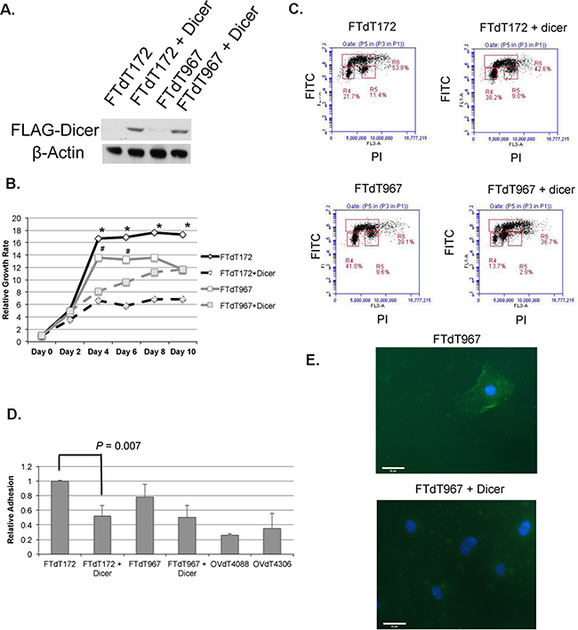 Introduction of a Dicer1-expression construct reversed the epithelial and growth phenotypes of the Dicer-Pten DKO mouse cancer cells.