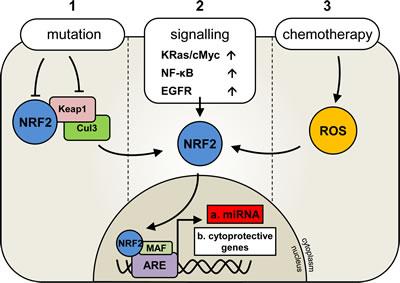 Deregulation of Nrf2 activation in human malignancies.