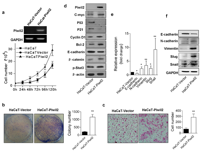 Piwil2 overexpression induces HaCaT cell malignant transformation.