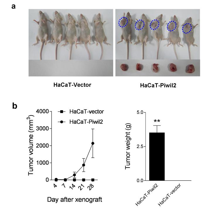 Piwil2 initiates tumorigenicity of HaCaT cells.
