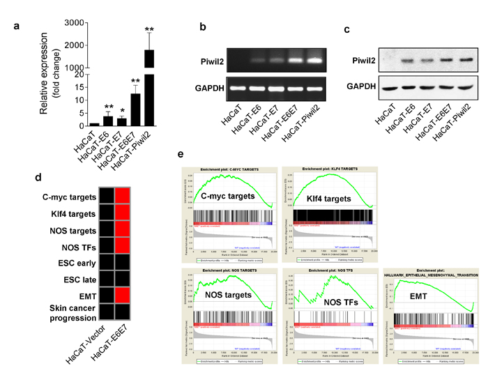 The HR-HPV oncoproteins E6 and E7 reactivate Piwil2 expression in HaCaT cells.