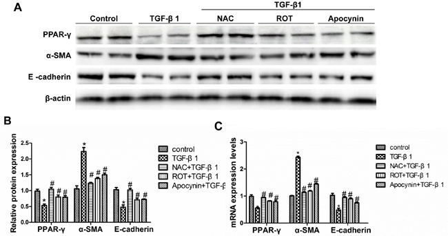 Inhibition of TGF-β1-induced oxidative stress restored PPAR-γ downregulation and the alteration of cellular phenotype.