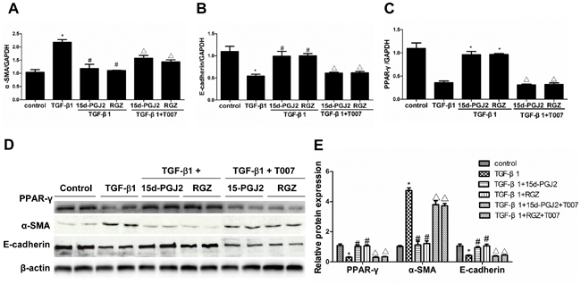 PPAR-γ activation inhibited TGF-β1-induced alteration of cellular phenotype.
