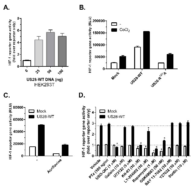 US28 stimulates HIF-1 transcriptional activity through concerted activation of Gα