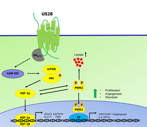 Proposed mechanism of US28 induced activation of the HIF-1α/PKM2 feedforward loop.