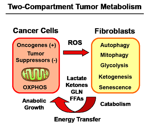Metabolic-Symbiosis in Human Cancer(s): New Therapeutic Targets.