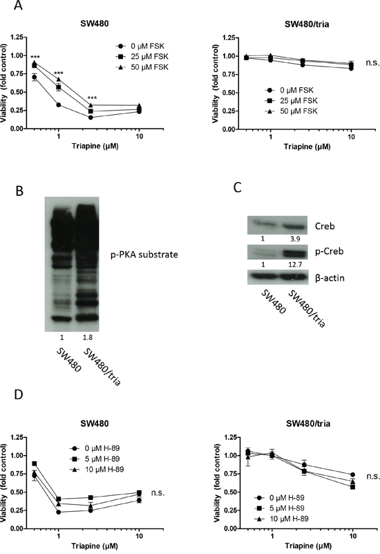The PKA-Creb signaling axis is not involved in triapine resistance.