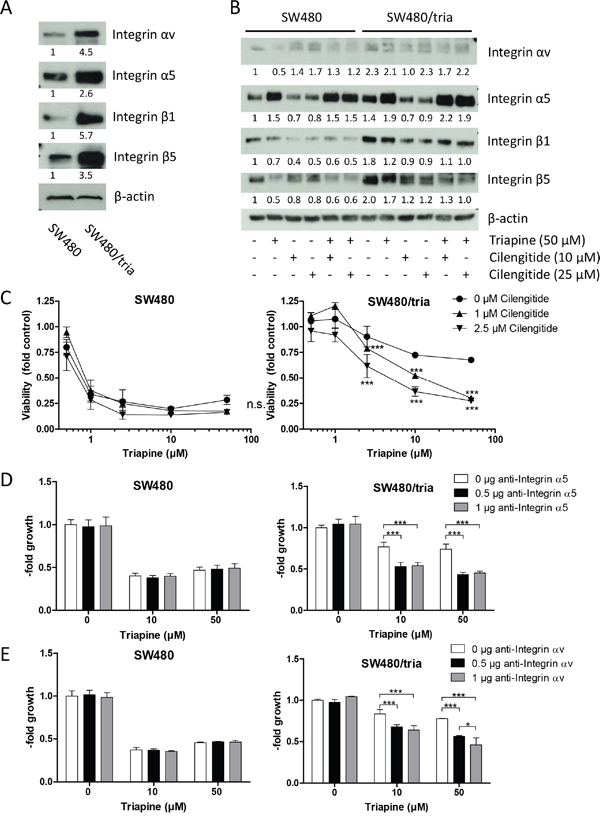 Role of integrins in acquired triapine resistance of SW480/tria cells.